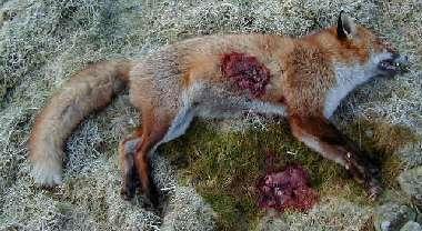 208 Yard Fox